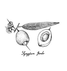 Hand drawn of syzygium jambos fruits on white back vector