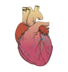 Heart - anatomy picture vector