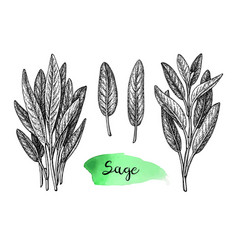 Sage ink sketch vector