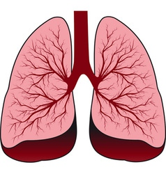 Bronchial system human lungs vector