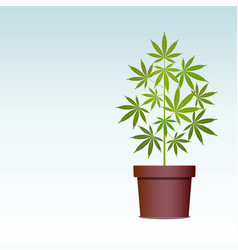 Marijuana or cannabis plant in pot herbs in a vector