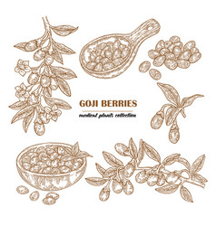 set goji berries on a branch hand drawn medical vector image