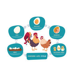 Chicken life cycle chicken and rooster cartoon vector