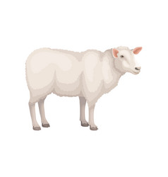 Flat icon of young white sheep domestic vector