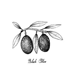 hand drawn of olive fruits on white background vector image