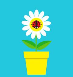 ladybird ladybug insect sitting on white daisy vector image
