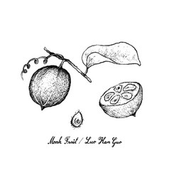 Hand drawn of monk fruit on white background vector