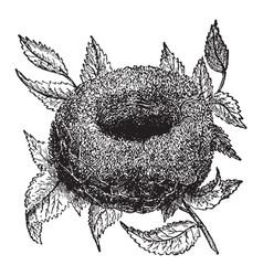 nest goldfinch vintage vector image