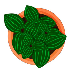 aluminium plant pilea cadierei in a flower pot vector image