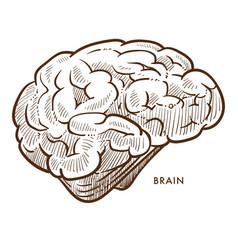 brain internal cerebral organ isolated sketch vector image