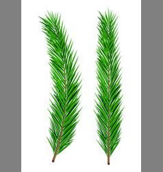 Green lush spruce branch evergreen tree fir vector