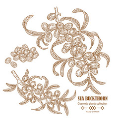 hand drawn sea buckthorn branch cosmetic plant in vector image