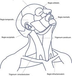 Human head contour vector image