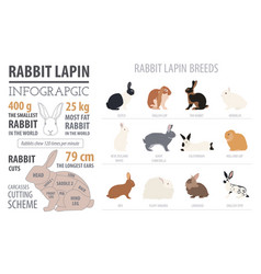 Rabbit lapin breed infographic template flat vector