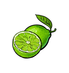 whole and half unpeeled ripe lime sketch vector image