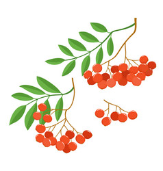 Branch of ashberries isolated on white set of vector