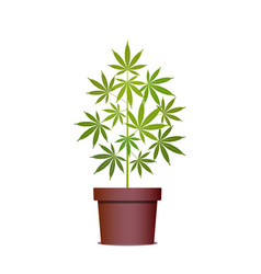 Marijuana or cannabis plant in pot herbs in a vector