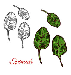 Spinach vegetable sketch with fresh green leaf vector