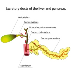 Pancreas and gallbladder vector image