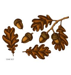 Set hand drawn colored oak vector