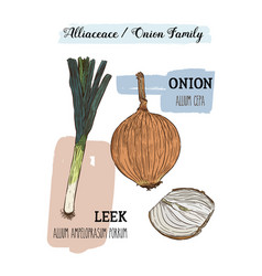 onions sketch onion hand drawn set herbs and vector image