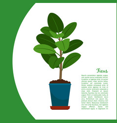 ficus plant in pot banner vector image vector image