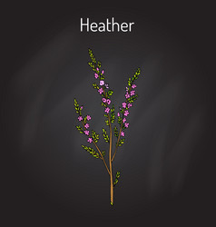 Heather calluna vulgaris branch with leaves and vector