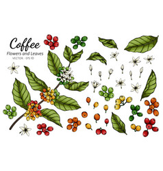 coffee flower and leaf drawing with line art on vector image
