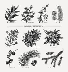 Elegant evergreen plants conifers trees and vector