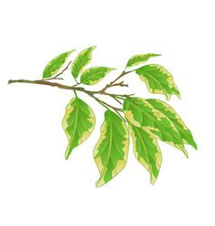 Tropical plant ficus benjamina variegated ficus vector