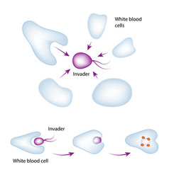 basic mechanism of the immune system vector image