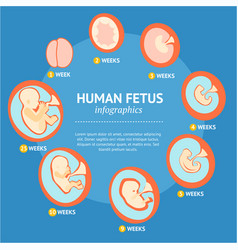 pregnancy fetal growth stage development vector image