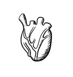 Human heart in sketch style vector image