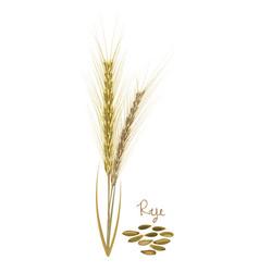 Rye with leaves stems grains food ingredients vector