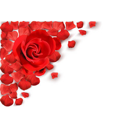 white background with red rose vector image
