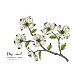 White dogwood flower and leaf drawing with line vector