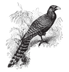 Pheasant cuckoo vintage vector