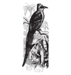 brazilian motmot vintage vector image