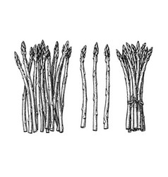 ink sketch of asparagus vector image