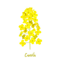 Rapeseed blossom isolated on white flowering vector