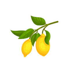 branch with ripe lemons and green leaves vector image
