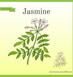 Jasmine branch with flowers vector