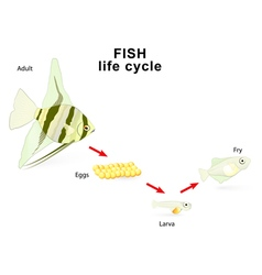 Fish life cycle vector image