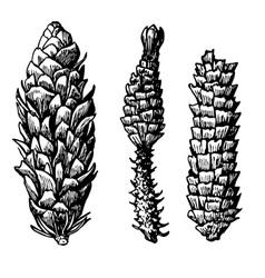 pine cones vector image