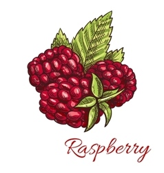 Raspberry fruits with green leaves sketch vector