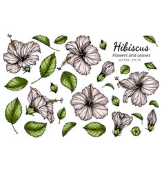Set white hibiscus flower and leaf drawing vector