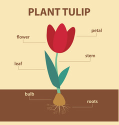 diagram showing parts of tulip whole plant vector image vector image