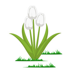 isolated tulips flowers vector image