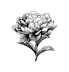 Peony flower drawing engraving vector