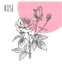 rose flower sketch botanical plant vector image